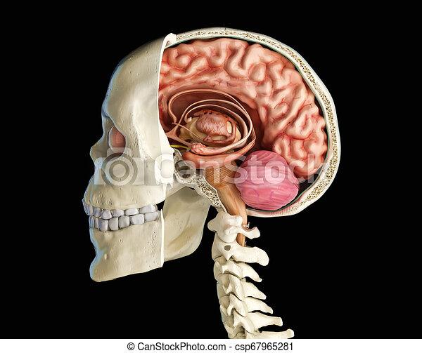 abschnitt, brain., kreuz, totenschädel, menschliche  - csp67965281