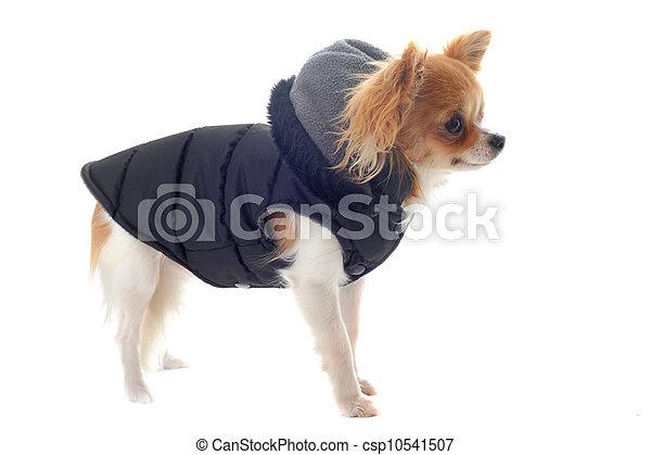Angezogener Chihuahua - csp10541507
