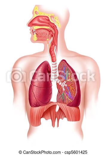 atmungs, abschnitt, system, kreuz, voll, menschliche  - csp5601425