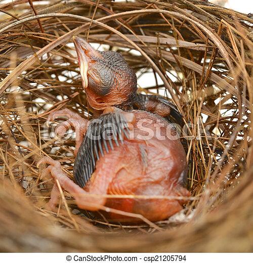 Babyvogel in einem Nest. - csp21205794