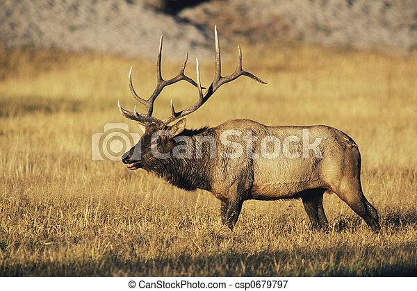 Bull Elk - csp0679797