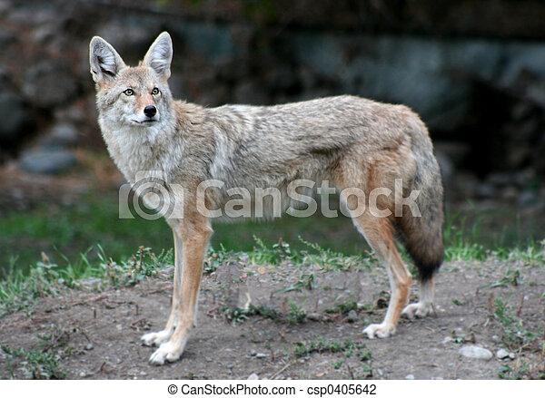 Coyote - csp0405642