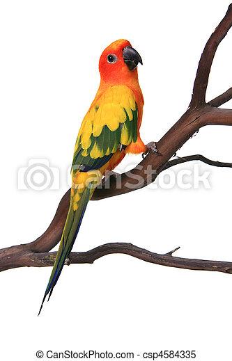 Curious Sun conure Bird auf einem Ast - csp4584335