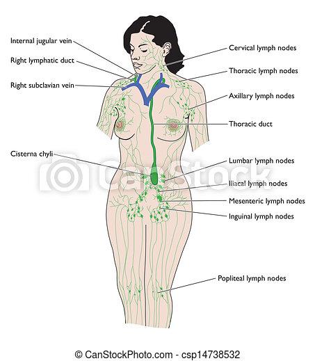 Das Lymphsystem - csp14738532