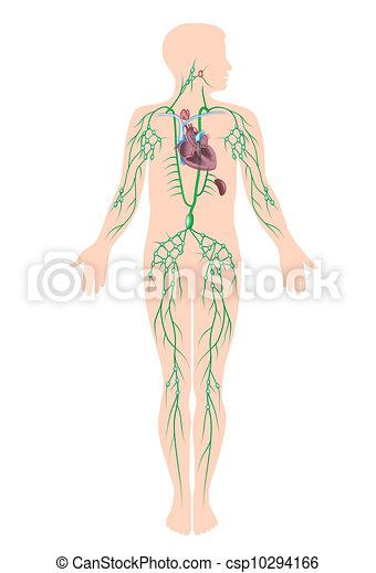 Das Lymphsystem, eps10 - csp10294166