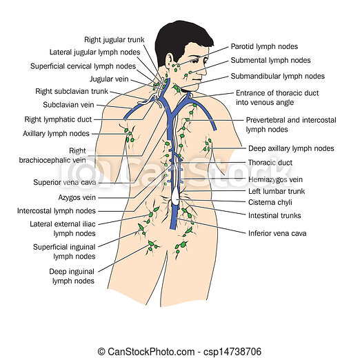 Das Lymphsystem - csp14738706