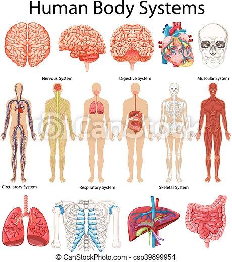 Diagramm zeigt menschliche Körpersysteme. - csp39899954
