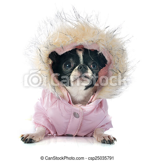 Dressed Chihuahua. - csp25035791