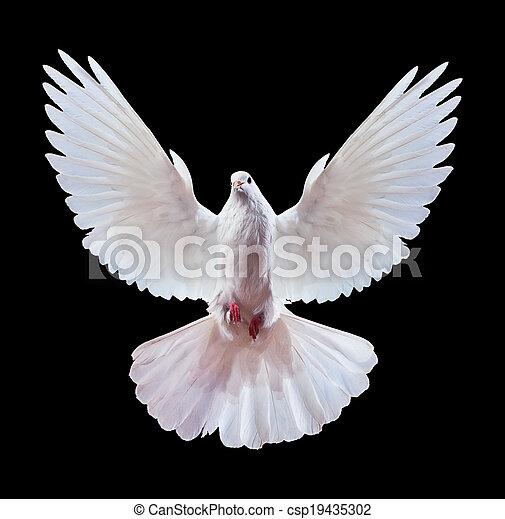 Eine freie fliegende weiße Taube, isoliert auf einem Schwarzen. - csp19435302