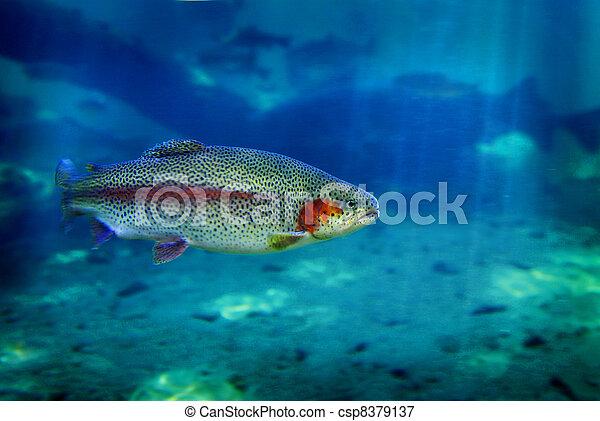 Forellenfisch schwimmen - csp8379137