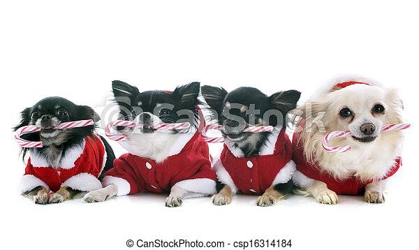 Gekleidete Chihuahuas - csp16314184