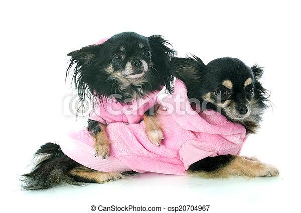 Gekleidete Chihuahuas. - csp20704967