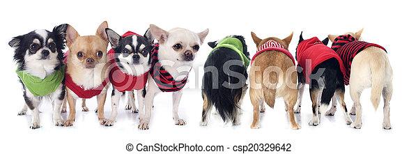 Gekleidete Chihuahuas. - csp20329642