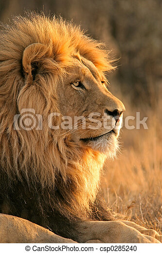 Großer, männlicher Löwe - csp0285240