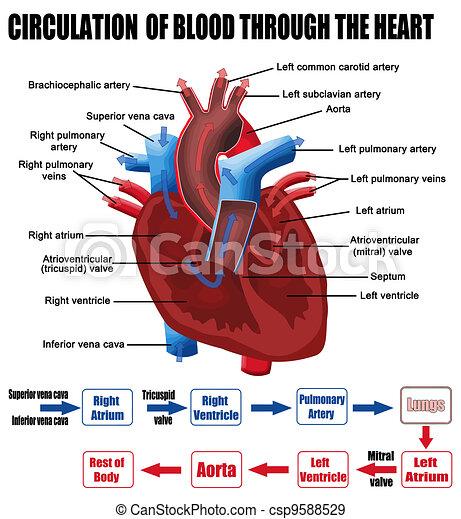Blutkreislauf durchs Herz - csp9588529