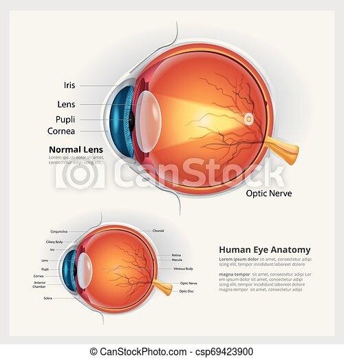 Menschliche Augen-Anatomie und normale Linsen-Vektorgrafik - csp69423900