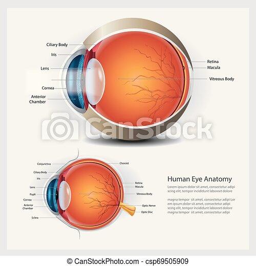 Menschliche Augen-Anatomie und normale Linsen-Vektorgrafik - csp69505909