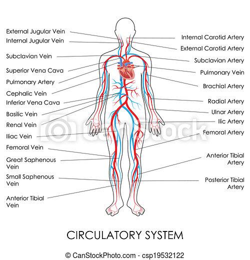 Kreislaufsystem. - csp19532122