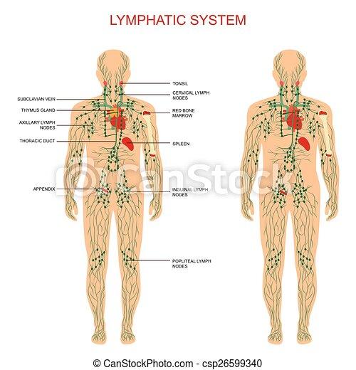 Lymphsystem, - csp26599340