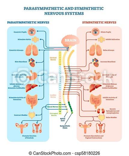 Medizinisches Vektordiagramm mit parasympathischen und sympathischen Nerven und allen verbundenen inneren Organen. - csp58180226