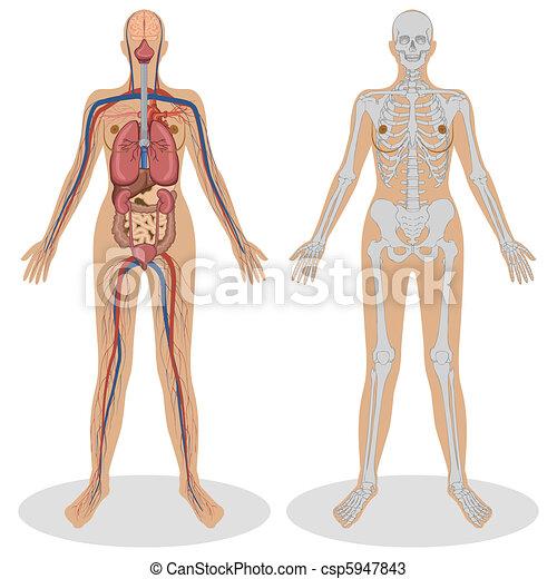 Menschliche Anatomie der Frau - csp5947843