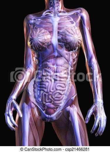 Menschliche Anatomie. - csp21466281
