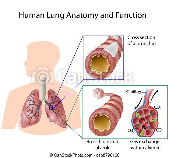 menschliche , &, koerperbau, lunge, eps8, funktion - csp8796166