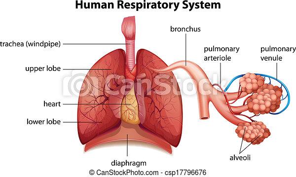 Menschliches Atemsystem. - csp17796676