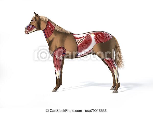 muskulös, pferd, system., anatomy. - csp79018536