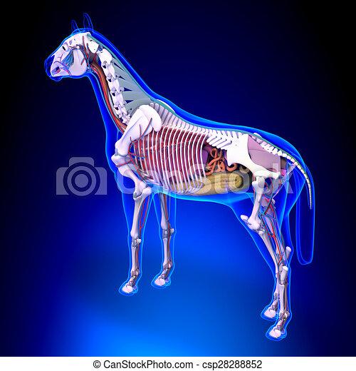 Pferdeanatomie - interne Anatomie des Pferderückblicks auf den blauen Hintergrund. - csp28288852