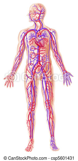 querschnitt, circolatory, menschliche , system - csp5601431
