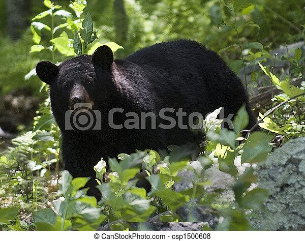 Schwarzer Bär - csp1500608