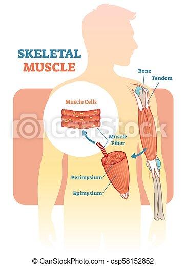 Skeletales Muskel-Vektor-Diagramm, anatomisches Schema mit menschlicher Hand. - csp58152852