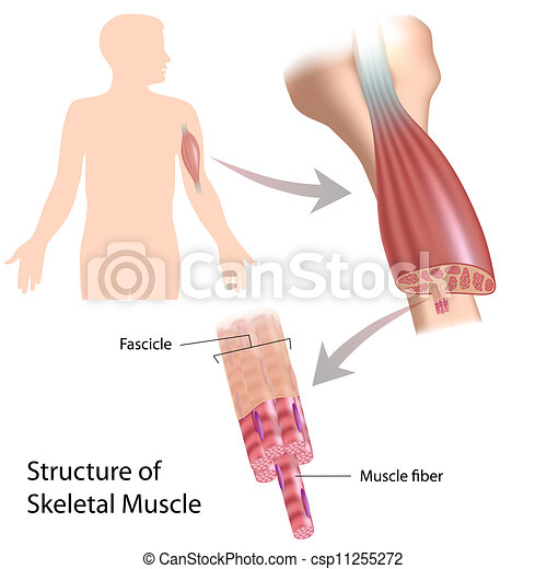 Skelettmuskelstruktur, Eps10 - csp11255272