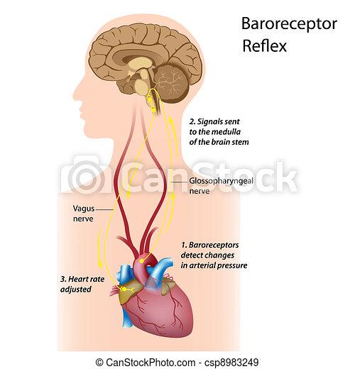 Verordnung über den Blutdruck - csp8983249