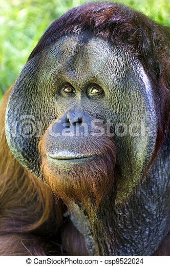 Wildtiere und Tiere - Orang-Utan - csp9522024