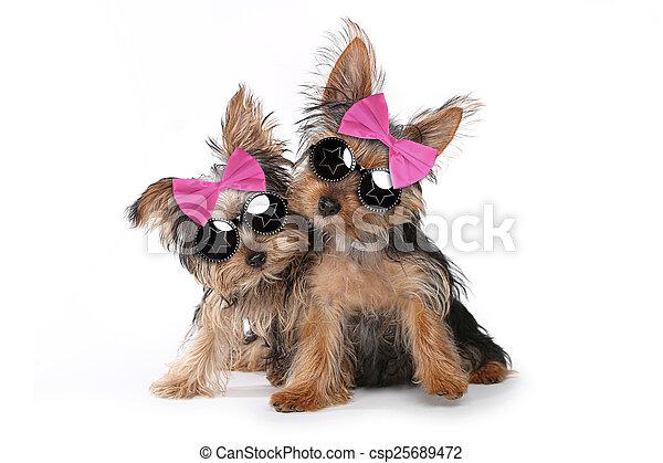 Yorkshire Terrier Welpen in rosa. - csp25689472