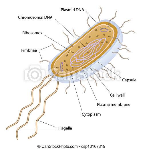Struktur einer bakteriellen Zelle - csp10167319