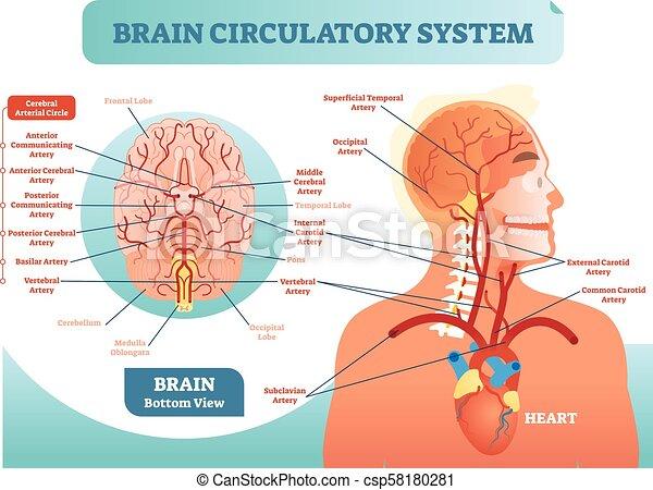 Gehirnkreislaufsystem anatomisches Vektordiagramm. Das menschliche Blutgefäßnetz. Cerebralmedizin. - csp58180281